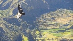 Condor flying close to the Look out point, Mayobamba