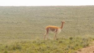 Vicuña en la reserva de Pampa Galeras
