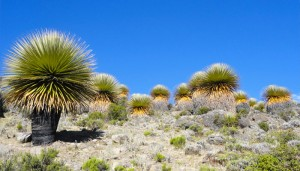 Puya de Raimondi Plants